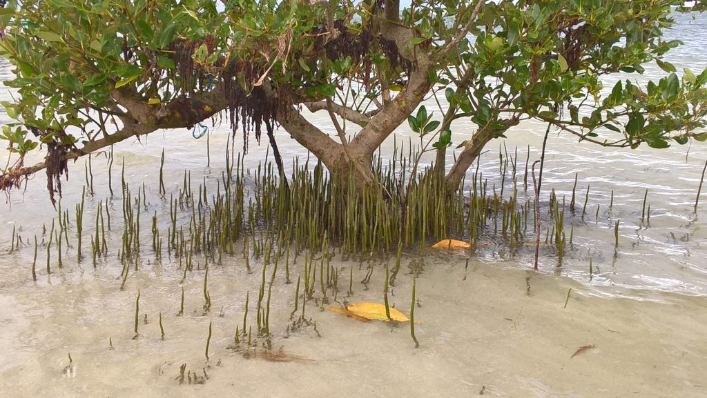 These young mangroves at the sand bar in Cagbalete Island will eventually form into a thicket